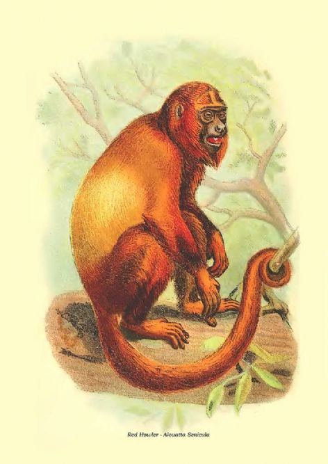 Fine art print of the Red Howler - Alouatta Senicula by Henry Ogg Forbes (1896)